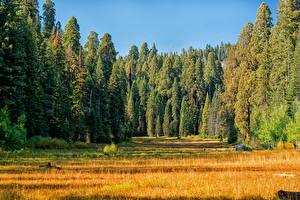 Картинка США Парк Леса Траве Ели Sequoia and Kings National Park Природа