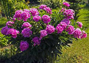Обои Пионы Крупным планом Кусты Фиолетовый Цветы