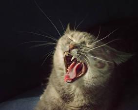 Обои Клыки Кошки Язык (анатомия) Усы Вибриссы Оскал Зевает Животные