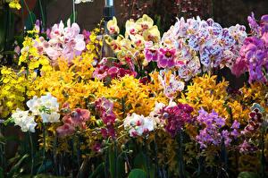 Обои Орхидеи Много Цветы фото