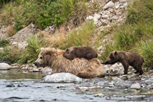 Обои Медведи Бурые Медведи Детеныши Реки Вода Животные фото