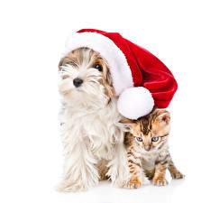 Картинка Новый год Собака Кошка Белом фоне Шапка Йоркширский терьер Котята животное