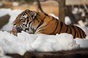 Обои Тигры Снег Amur Животные фото