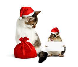 Фотография Новый год Коты Бурундуки Белый фон 2 Подарки Шапки Животные