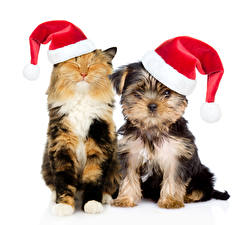 Обои Рождество Собаки Коты Белый фон Две Йоркширский терьер Шапки Животные