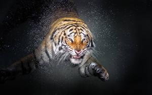 Фото Тигры Вода Усы Вибриссы Стекло Животные