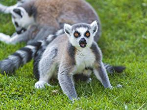 Обои Лемуры Трава Взгляд Животные фото