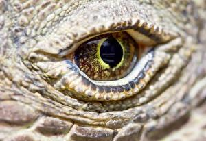 Картинка Глаза Крупным планом Рептилии Макро komodo dragon Животные