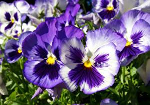 Картинка Анютины глазки Крупным планом Фиолетовый Цветы