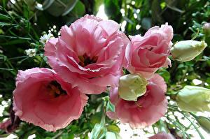Обои Эустома Крупным планом Розовый Бутон Цветы