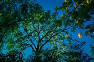 Обои Ветки Вид снизу Деревья Природа фото