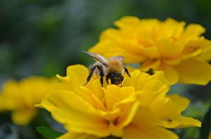 Обои Пчелы Насекомые Животные