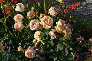 Фотографии Розы Бутон Цветы