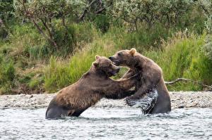 Обои Медведи Бурые Медведи Вода Двое Драка Животные фото