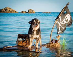 Фото Реки Собаки Вода Пираты Чихуахуа Флага Сундук сокровищ Животные
