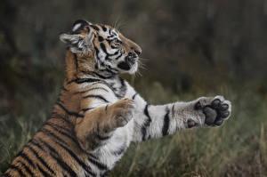 Обои Тигры Детеныши Лапы Животные фото