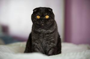 Обои Кошки Скоттиш-фолд Черный Животные фото