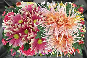 Обои Хризантемы Крупным планом Цветы фото