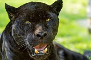 Фотография Клыки Пантеры Ягуары Черный Взгляд ©Tambako The Jaguar Животные