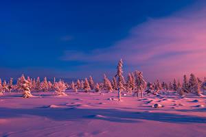 Обои Зима Небо Рассветы и закаты Вечер Снег Ель Природа фото