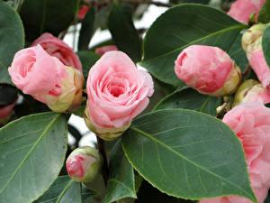 Картинки Камелия Розовый Бутон Листва Цветы