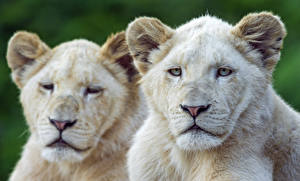 Фотографии Львы Двое Белый Смотрит ©Tambako The Jaguar Животные