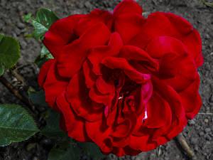 Обои Розы Крупным планом Красный Цветы фото