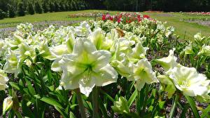 Обои Амариллис Крупным планом Белый Цветы фото