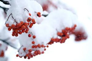Обои Ягоды Рябина Снег Природа