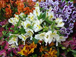 Обои Альстрёмерия Крупным планом Много Цветы фото