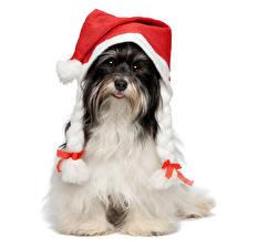 Картинки Новый год Собаки Белый фон Гаванский бишон Шапки Косички Животные