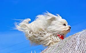 Обои Белый Бег Ветер Гаванский бишон Животные фото