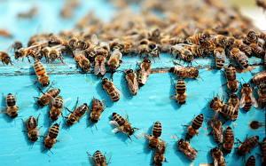 Обои Пчелы Много Насекомые