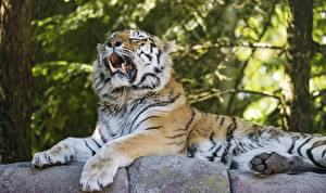 Картинки Тигры Клыки Амурский тигр Зевает Лапы ©Tambako The Jaguar Животные