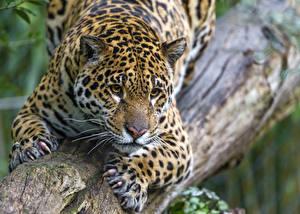 Фото Ягуары Ствол дерева Взгляд ©Tambako The Jaguar Животные