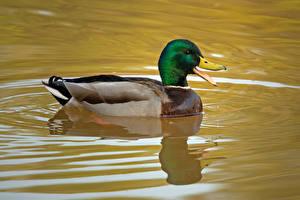 Фото Утки Вода Птицы