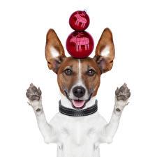 Картинка Новый год Собаки Белый фон Джек-рассел-терьер Шарики Лапы Забавные Животные