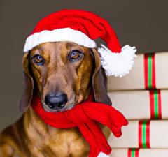 Обои Новый год Собаки Цветной фон Такса Шапки Морда Шарф Взгляд Животные фото