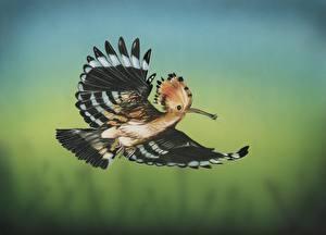 Обои Птицы Рисованные Крылья Полет Hoopoe Животные фото