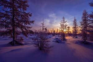 Обои Времена года Зима Рассветы и закаты Вечер Ель Снег Природа фото