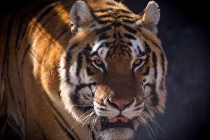 Обои Тигры Амурский тигр Взгляд Морда Усы Вибриссы Животные фото
