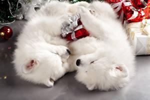 Собаки Щенок Двое Шпиц Белый Животные