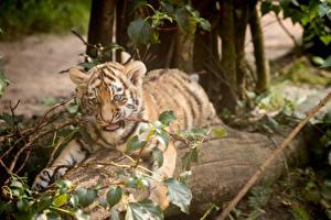 Обои Тигры Детеныши Амурский тигр Животные фото