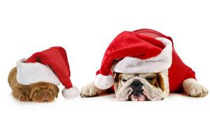 Новый год Собаки Белый фон Бульдог Двое Шапки Спит Животные