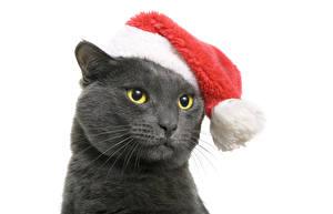 Обои Новый год Кошки Белый фон Шапки Морда Взгляд Животные фото