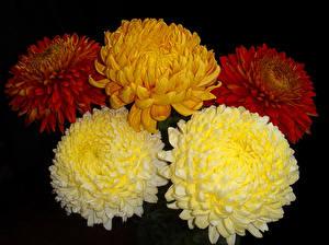 Обои Хризантемы Крупным планом Черный фон Цветы