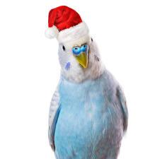 Фотографии Новый год Птицы Попугаи Белом фоне Шапка животное