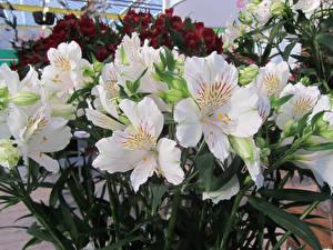 Картинки Альстрёмерия Крупным планом Белый Цветы