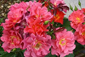 Обои Розы Крупным планом Розовый Цветы