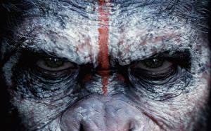 Обои Обезьяны Глаза Планета обезьян: Революция Взгляд 2014 Фильмы Животные фото